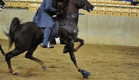 Tennessee Walking Horse Abuse Condoned by Congress