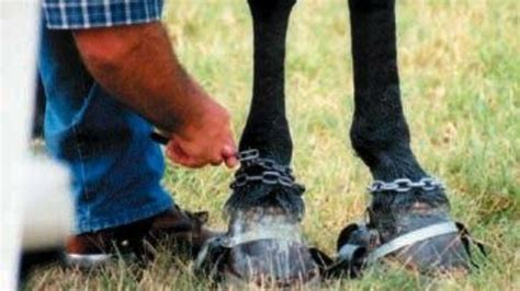 Petition · The Big Lick: Ban the soring of Tennessee