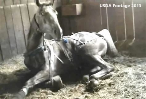 Video exposes cruelty by Tennessee walking horse trainer